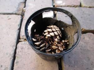 ver1-fire-pine-cones-milk-20160116-2