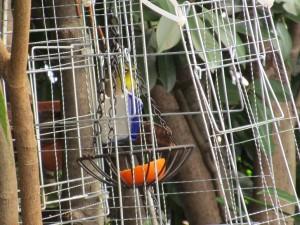 bird-feeder-visitor-20160221-4