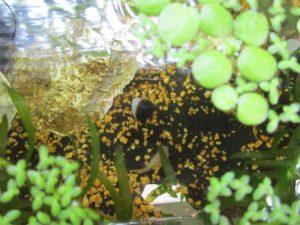 bio-freshwater-clam-20180528-6