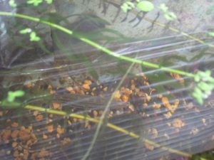 biotope-homemade-loach-20160604-1