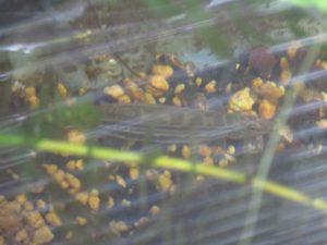 biotope-homemade-loach-20160604-2