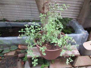 herb3-20160723-4